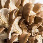 De oesterzwam: een volwaardige vleesvervanger met een stevige bite