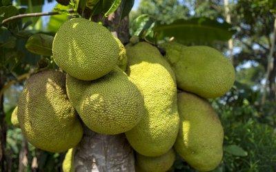Variatietip: jackfruit